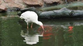 Белый ibis с рыбой в своем клюве сток-видео