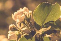 Белое солнце вишневых цветов весной с предпосылкой неба Винтажные цветы стоковое фото