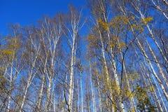 Березы осенью высоко на фоне неба. Tall birches in the autumn on sky background Stock Image