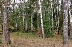 Берёзовая роща в лиственном лесу Белоруссии Royalty Free Stock Photos