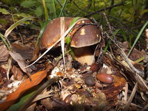 Белый гриб / Boletus edulis Royalty Free Stock Photo