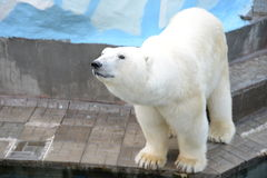 белый медведь. The polar bear is the largest Carnivore in the world, strength, power, beauty Royalty Free Stock Photos