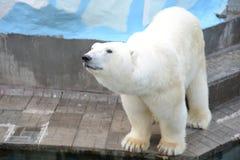 белый медведь Royalty Free Stock Photos