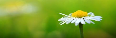 близкая маргаритка вверх по белизне предпосылка цветет лето стоковое изображение