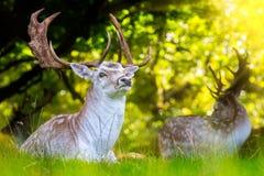 Близкий вверх ланей с впечатляющими antlers стоковые фото