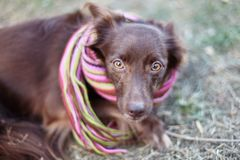 Близкий поднимающий вверх портрет маленького красного смешивания собаки шоколада или шавка в ярком обнажанном шарфе снаружи запач стоковые изображения