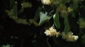 Близко вверх пчелы собрать нектар на цветках липы сток-видео