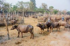 Буйвол в буйволе фермы тайском в буйволе предпосылки фермы в Таиланде стоковые фотографии rf