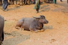 Буйвол в буйволе фермы тайском в буйволе предпосылки фермы в Таиланде стоковые фото