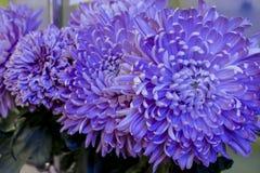 Букет из крупных сиреневых хризантем. Bouquet of chrysanthemums large flowers of lilac color Stock Photos