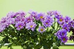 Букет из мелких сиреневых хризантем. A bouquet of small flowers of chrysanthemum lilac Royalty Free Stock Image
