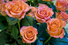 Букет из роз. Background from a bouquet of orange roses close up Stock Photography