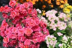 Букет крошечных цветков завода kalanchoe стоковые изображения rf