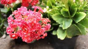 Букет крошечных цветков завода kalanchoe стоковое изображение rf