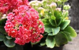Букет крошечных цветков завода kalanchoe стоковая фотография rf