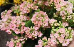 Букет крошечных цветков завода kalanchoe стоковые фото