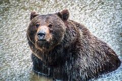 Бурый медведь купая в озере пока идущ дождь стоковая фотография