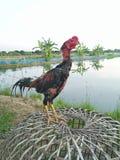Боец Таиланд цыпленка, цыпленок стоковые фотографии rf