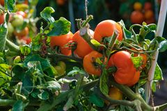 Большая ветвь со среднего размера пинком и красными томатами Сбор лета овощей Загорано яркой солнечностью стоковое фото