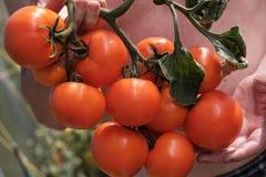 Большая ветвь со среднего размера пинком и красными томатами Сбор лета овощей Загорано яркой солнечностью стоковые фото