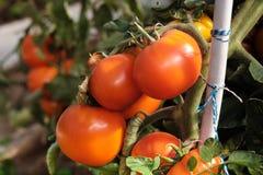 Большая ветвь со среднего размера пинком и красными томатами Сбор лета овощей Загорано яркой солнечностью стоковые изображения
