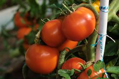 Большая ветвь со среднего размера пинком и красными томатами Сбор лета овощей Загорано яркой солнечностью стоковая фотография rf