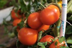 Большая ветвь со среднего размера пинком и красными томатами Сбор лета овощей Загорано яркой солнечностью стоковое изображение rf