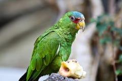 Большая зеленая ара также известная как ара Buffon стоковые изображения rf