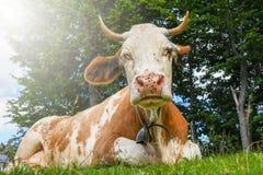 Большая коричневая корова с колоколом вокруг шеи стоковые фото