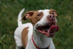Большая улыбка и язык на этом счастливом смешивании собаки - коричневом & белом ямы стоковые фотографии rf