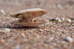 Большая раковина моря с кольцом золота внутрь стоковые изображения rf