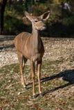Большее kudu, strepsiceros Tragelaphus антилопа полесья стоковые фото