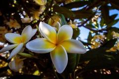 Больший конец вверх от цветения желтофиоли стоковые фото