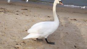 Большой белый лебедь на море, концепция диких животных акции видеоматериалы