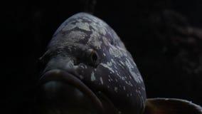 Большой вытаращиться рыб Закройте вверх головы и глаз акции видеоматериалы