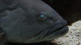 Большой вытаращиться рыб Закройте вверх головы и глаз сток-видео