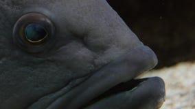 Большой вытаращиться рыб Закройте вверх рта и глаз сток-видео