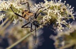 Большой желтый жук съесть нектар на цветке стоковые изображения