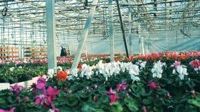 Большой парник вполне красочных цветков, cyclamens Расти цветка в парнике сток-видео