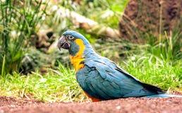 Большой попугай на земле в зоопарке стоковые фотографии rf
