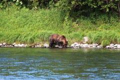 Большой дикий медведь идет рекой стоковое фото