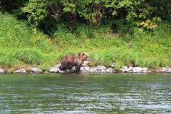 Большой дикий медведь идет рекой стоковая фотография rf