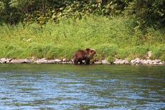 Большой дикий медведь идет рекой стоковое изображение rf