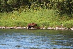 Большой дикий медведь идет рекой стоковые фото