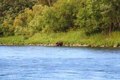 Большой дикий медведь идет рекой стоковые изображения rf
