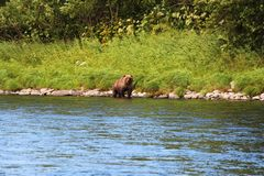 Большой дикий медведь идет рекой стоковые фотографии rf