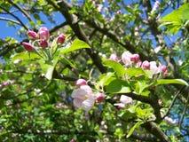 вал весны ветви цветений цветеня яблока стоковые фотографии rf