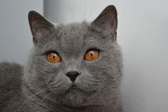 Великобританский кот с золотыми глазами стоковые фотографии rf