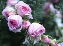 Венок из роз. A wreath of roses for the bride Stock Photos