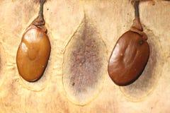 Весьма конец вверх тропических семян дерева внутри оболочки стоковое изображение